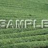 茶畑の写真素材