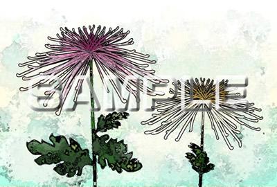 菊の花の塗り絵